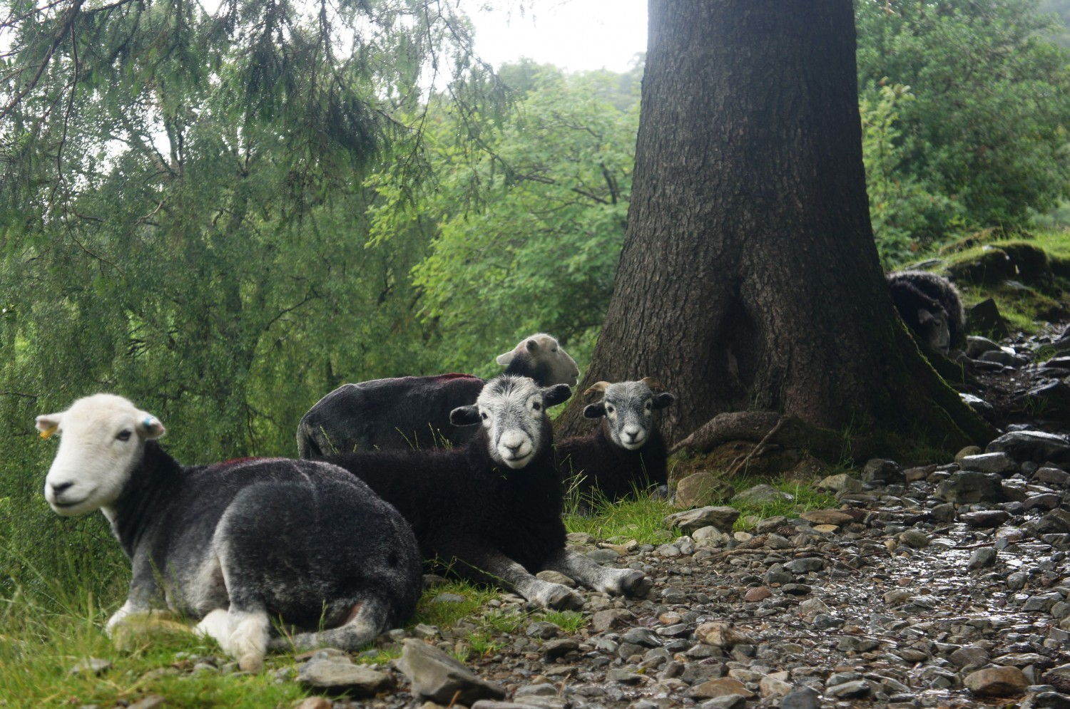 Lakes District Locals - The Herdwicks