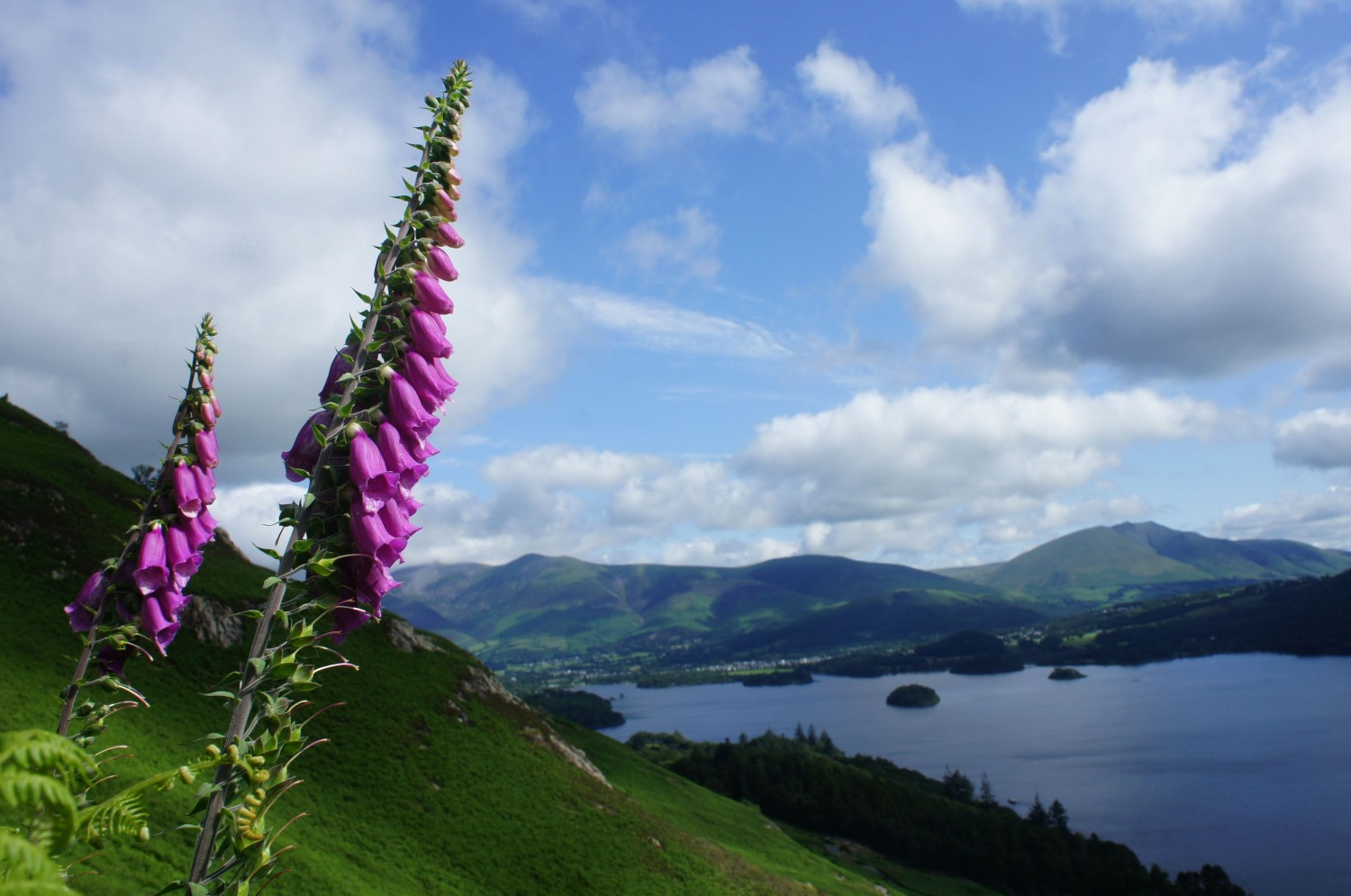 Foxgloves over Derwentwater, The Lake District, United Kingdom