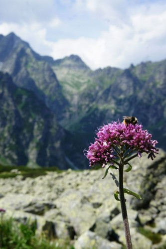 In the alpine meadows of the High Tatras